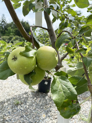 Fruiting Apple Trees