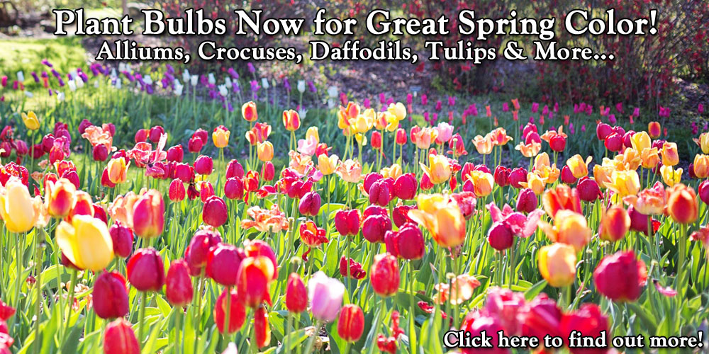 Plant Bulbs Now for Great Spring Color!